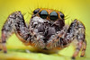 Jumping Spider - Phidippus (xbn83) Tags: macro bug insect spider nikon 28mm jumper et jumpingspider sb80dx macrophotography naturesfinest f13 d90 68mm macroextreme supershot br2a overtheexcellence macrolife notyournormalbug