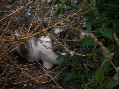 003764 - Gato (M.Peinado) Tags: animal cat gatos olympus gato animales fav 2010 5fav ccbync olympussp800uz noviembrede2010 13112010