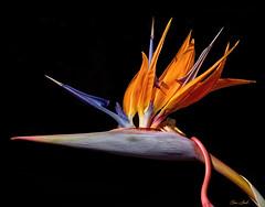 Birds Of Paradise (ChristopherLeeHewitt) Tags: flowers nature flora birdsofparadise tropicalflower doublefantasy
