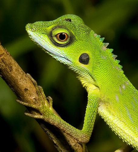 green crested lizard head