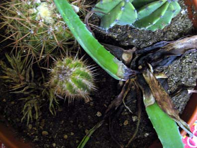 Dead Succulent