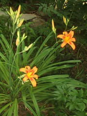 Lilies in the South Garden / Hemerocallis (bill barber) Tags: china pink orange plants white plant ontar