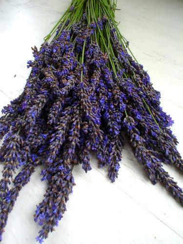 lavender 391