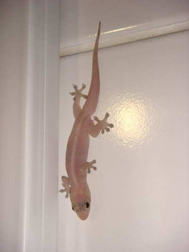 The house gecko...