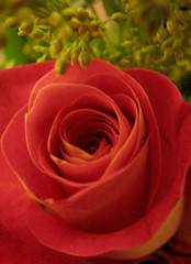 Red and yellow rose ( Popotito ) Tags: red orange naturaleza plant flower verde green planta nature beautiful rose flor rosa bloom bella fabulous pops naranja marvelous roja naturesfinest