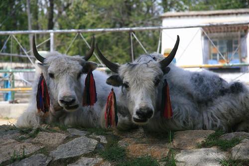 SIMPATICHE VERO???? MA CHE SI SONO MESSE ALLE ORECCHIE? dans animali ed animaletti 976136284_4782113cf6