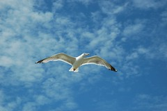Gaviota en Llanes (bidari) Tags: seagull asturias grupo gaviota efecto bidari efectomariposa