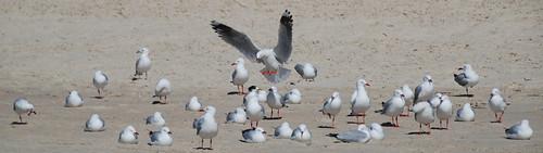 gaivotas e mergulhões na praia
