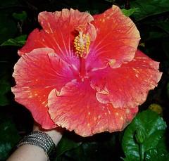 FLOWER / HIBISCUS