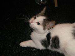 Kaylee (Mandy Verburg) Tags: pet cat kitten kat feline pussy ek huisdier poes kaylee katachtige cyper thebiggestgroup kissablekat mandyarjan thebiggestgroupwithonlycats
