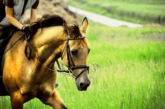 making your gold work for you (Dan65) Tags: horse 3 gold golden explore irene canter gallop buckskin gelding teke blueribbonwinner akhal akhalteke gazan
