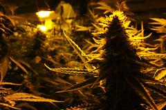 Amsterdam weed ( spunkinator) Tags: netherlands amsterdam weed lamps marijuana