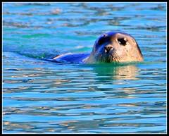 Svalbard: sealskin in blue water   11.1804.33