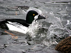 Surf's Up! (ebirdman) Tags: male common goldeneye commongoldeneye bucephalaclangula bucephala clangula