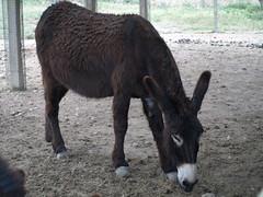 Burro (Equus africanus asinus) 2010 (Javier Garcia Alarcon) Tags: burro asno borrico quidos