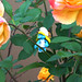 Smurfette inspecting roses for aphids