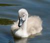 Fluffy Cygnet (Photospool) Tags: thames river swan cygnet fluffy