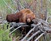 It was broken before I got here... (Dave Stiles) Tags: bear wildlife yellowstonenationalpark yellowstone blackbear stiles specanimal animalkingdomelite yellowstonewildlife