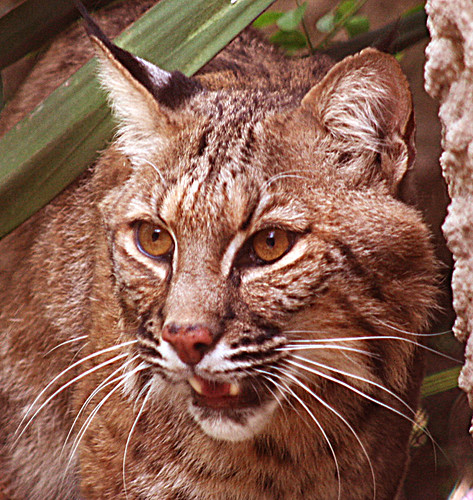 bobcat 2 by Franomilano