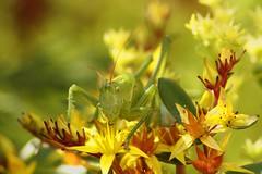 vorm Sprung (mesiplusminusmesi) Tags: macro green nature colors yellow insect dof portfolio grashopper heupferd interestingness245 i500