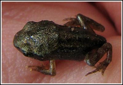 babby froggie 2 copy