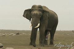 Really musth (dickysingh) Tags: wild india nature big outdoor wildlife aditya elephants corbett singh corbet dicky indianwildlife indianelephants corbettnationalpark asianelephants corbetttigerreserve asiaticelephants elephantpark wildelephants elephantreserve ranthambhorebagh adityasingh dickysingh ranthamborebagh theranthambhorebagh elephantsrhinosgiraffeshippos
