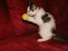 Kaylee throwing the ball (Mandy Verburg) Tags: pet playing female cat kitten kat feline pussy kitty huisdier pussycat poes kaylee spelen katachtige cyper thebiggestgroup mandyarjan thebiggestgroupwithonlycats