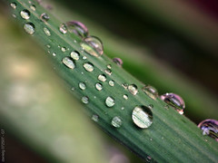 After the Rain today ....G7WetLeaves2 (Daniel Y. Go) Tags: macro green nature wet water leaves rain canon droplets philippines powershot g7 imag canong7 wowiekazowie gettyimagesphilippinesq1