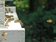 Honey, I'm home. (Doxieone) Tags: nikon charlotte bees bee honey carolina nikkor hive beekeeper 70300mmf456d specnature