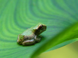 Baby Gray Treefrog 1
