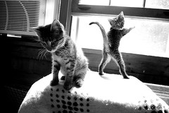 (gillianleigh) Tags: bw cats ma weird interestingness furry jen sister kittens explore kitteh cuteness catbutt fosterkitties kittenporn bumholz thecatwhoturnedonandoff