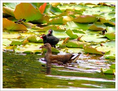 Water-lily with water-hens (Franc Le Blanc) Tags: nature birds waterhen dimagez3 konicaminolta waterlilys diamondclassphotographer flickrdiamond francleblanc onlythebestare naturewatcher wonderfulworldmix