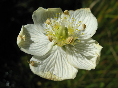 20070824 Grass-of-Parnassus