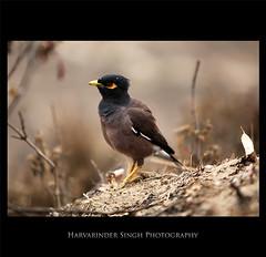 Bir'die' (Harvarinder Singh) Tags: birds harvarindersinghphotography harvarindersingh