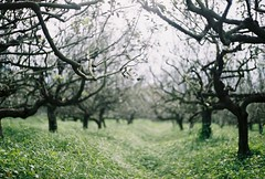 ~ Apple Tree (yipchoonwai) Tags: life travel trees light sky green love film grass leaves misty indonesia outdoors freedom cool cares asia southeastasia day branch seasons bokeh iso400 farm breath farming foggy free woody windy rangefinder nobody orchard fresh treetrunk plantation electro alive filmcamera agriculture grassland yashica landforms naturalworld magnificent surabaya oldcamera appletrees pacificislands yashicaelectro35 analoguecamera yashicaelectro cropland electro35 javaisland yashicaelectro35gtn negativefilm deciduousplant gtn rangefindercamera brunches filmuser freshfilm lovelybokeh electro35gtn fujifilmfilm yipchoonwai httpwwwwixcomyipchoonwaiphotos yipchoonwaiblogspotcom freshnegative