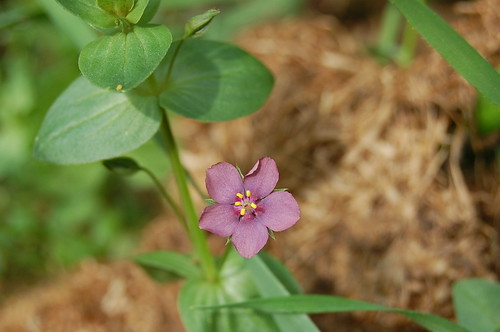 Purple scarlet pimpernel