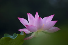 In The Dream (Claire Chao) Tags: pink flower green flora lotus blossom greenleaf   canoneos5dmarkii ntuankangfarm
