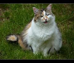 Le sourire de Tessy (Mystycat =^..^=) Tags: cat chat kitty gato calico kissablekat bestofcats catmoments catnipaddicts vg~catsgallery