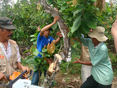 Motivating cocoa farmers to encourage adoption of best practices in Nort Luwu, Sulawesi (USAID Indonesia) Tags: usaid coffee vegetables indonesia employment harvest property banana pineapple valve marketplace swine agriculture supplies cocoa financial horticulture economy development microcredit surplu