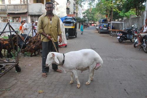 Dumba goat chinchpokli road