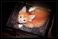 House Cat! (SdR Art Photography) Tags: cats cat canon eos eyes kitten sweet tail occhi dolce ear siberian gatto gatti coda cucciolo muso gatta siberiano llens orecchie wwwluxintenebracom sergiodelrosso wwwluxintenbracom wwwsergiodelrossocom