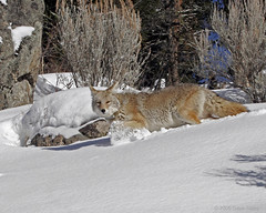 Deep Snow Coyote - Yellowstone (Dave Stiles) Tags: coyote wildlife explore yellowstonenationalpark yellowstone stiles canislatrans yellowstonewildlife bfgreatesthits wintercoyote