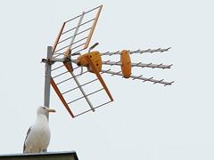 Antena-Gaviota (ganessas) Tags: barcelona gaviota terratdecasa pruebash9 usandozoom