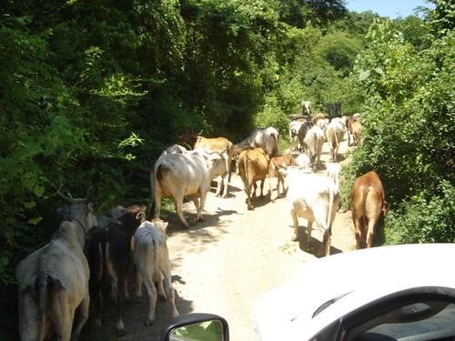 Tráfico de vacas / cow traffic