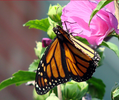 Monarch and Rose of Sharon