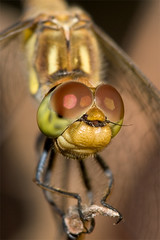 Closer and closer (macropoulos) Tags: common darter dragonfly macro portrait animalia arthropoda hexapoda insecta odonata anisoptera libellulidae sympetrum striolatum canoneos400d canonef100mmf28macrousm vivitar2xteleconverter canonspeedlite430ex macrofoted macrophotosnolimits animalkingdomelite bravo flickrplatinum aplusphoto superaplus naturesfinest ccmpadminfave specanimal 500v20f diamondclassphotographer specinsect 500v50f macrofotedcontest mywinners magicdonkey 1000v40f compoundeyes worldbest 200750plusfaves magicofaworldinmacro impressedbeauty 1500v60f topf100 100faves100comments1000views 1000v100f awesomebug 3000v120f gettyimages insecte insect nature animal insectes insects libellules libellule dragonflies odonates odonate gettyimages:date_added=pre20110607
