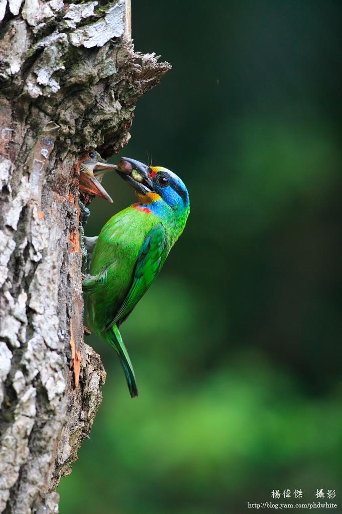 五色鳥育雛 Brooding behavior of Muller's Barbet