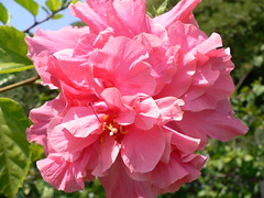 Hibiscus - Double Flower (Luigi Strano) Tags: flowers flores primavera nature fleurs spring flor blossoms blumen hibiscus blooms hibiscusrosasinensis fiori blommor bungabunga maua hibiskus bloemen blomster bulaklak hoa flors iekler flori  kvtiny  geles lule virgok blom kukat fior cvijee lilled blomme viragok   ziedi   schedebotaniche botanicalnotes kbetki kuety