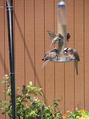 Backyard Birds 507