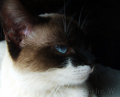 Azul.... (carlowro) Tags: blue cats eye azul cat moments mother gatos gato mae olho bestofcats